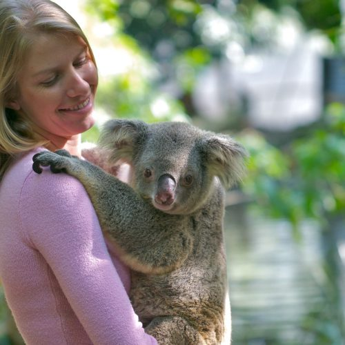 koalas-hold-cairns-port-douglas-1